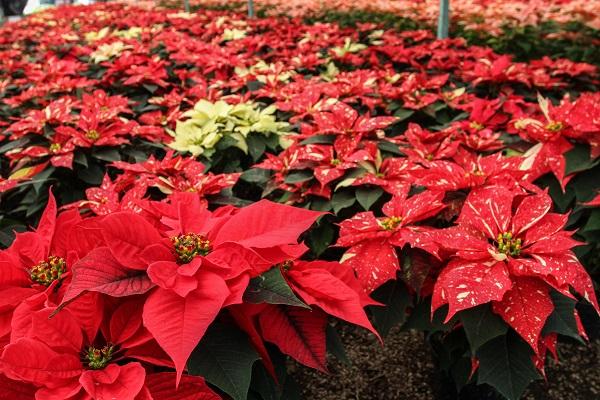 """MÉXICO, D.F., 27NOVIEMBRE2015.- La producción de la Flor de Pascua, conocida como """"Nochebuena"""" pues sus hojas se tiñen de color rojo en la época navideña, es una de las actividades económicas más redituables de la zona. En promedio, una nochebuena requiere 8 meses de cultivo, condiciones especiales de temperatura y riego, para lograr el color escarlata. Existen por lo menos 17 variedades diferentes cuyas hojas son moteadas, blancas, amarillas, o completamente rojas.  FOTO: MARÍA JOSÉ MARTÍNEZ /CUARTOSCURO.COM"""