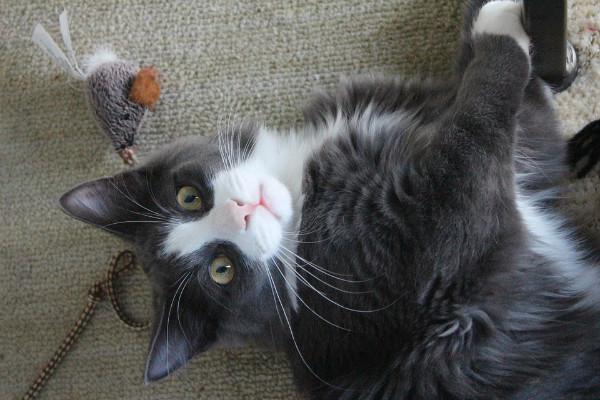 Elabora estos sencillos y divertidos juguetes para tu gato.