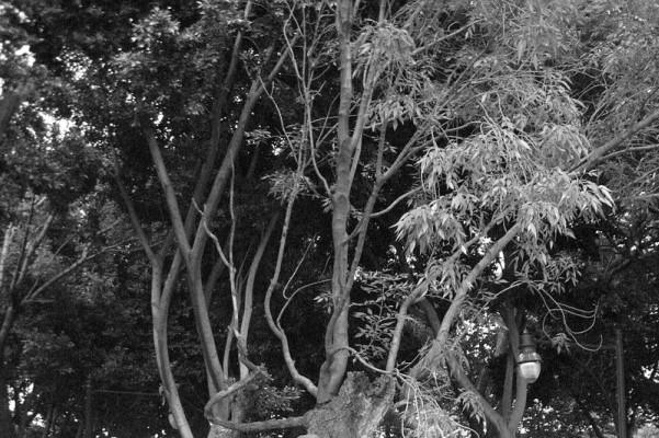 Una famosa leyenda de Tlalpan tiene como protagonista este árbol.